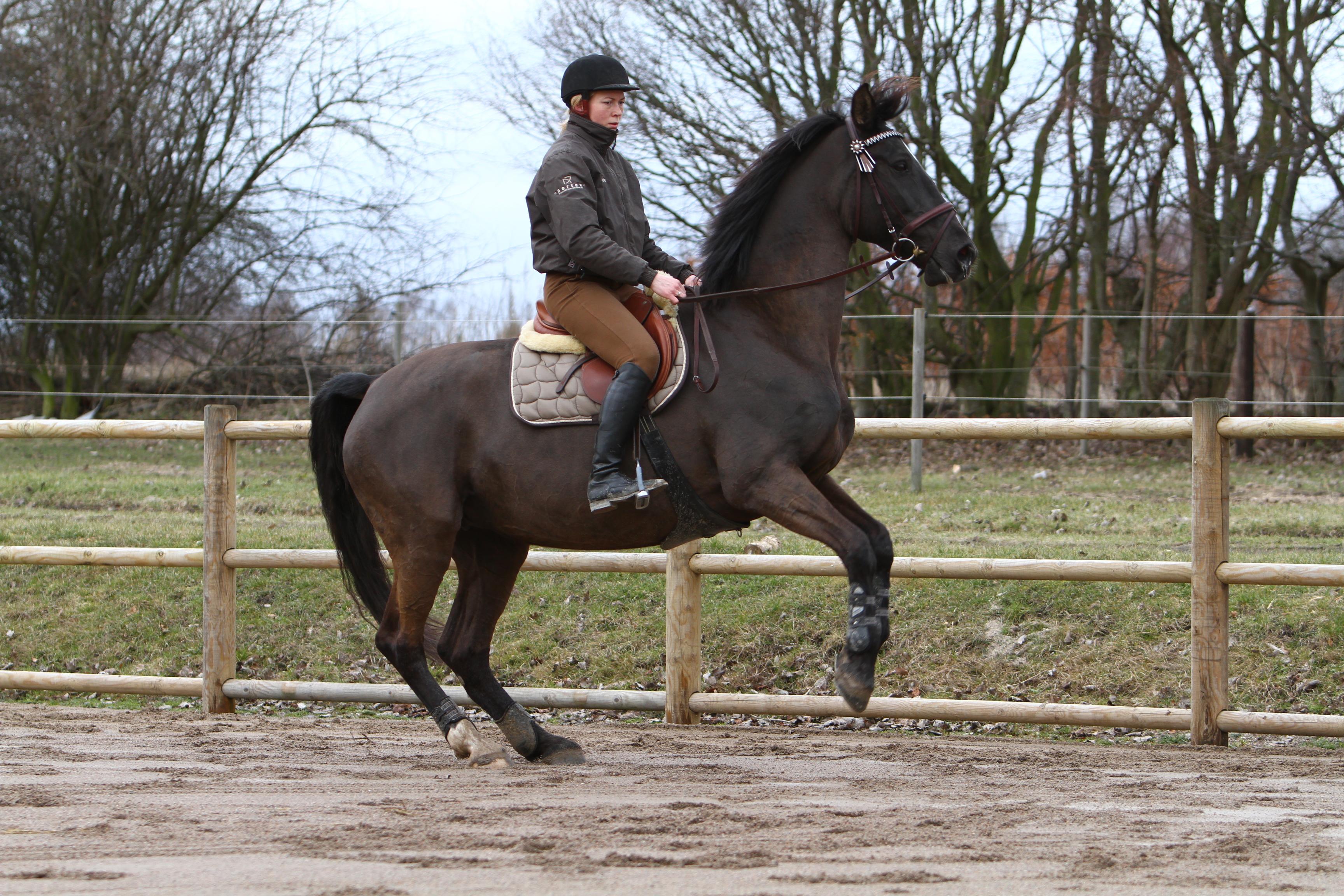 Hesten her er absolut ikke tilpas ved at blive redet. Begynder hesten at stejle, bukke eller på andre måde stritte imod, så bør man overveje at ændre sin måde at træne hesten på.