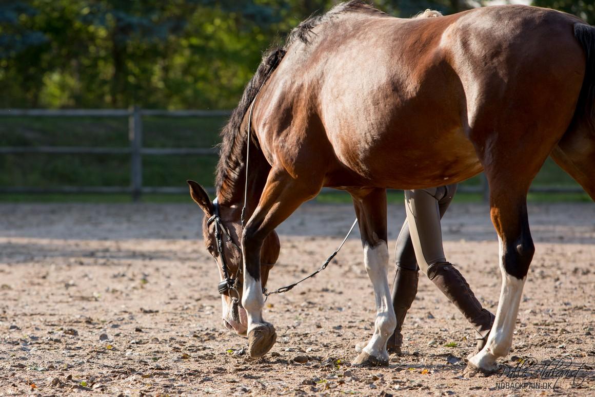 Her ses Stacia hvor hun strækker sig dybt. Man kan ikke tvinge hesten til at gå i denne position.