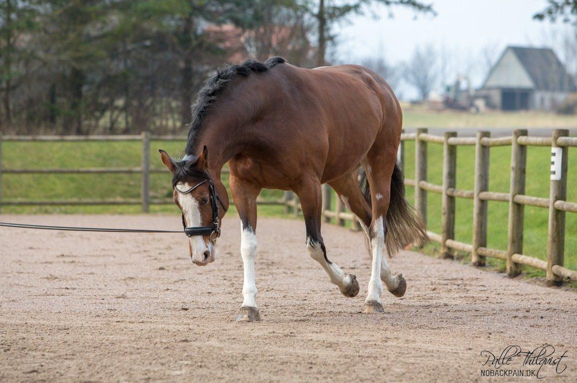 Udvikling af hestens muskler via træning