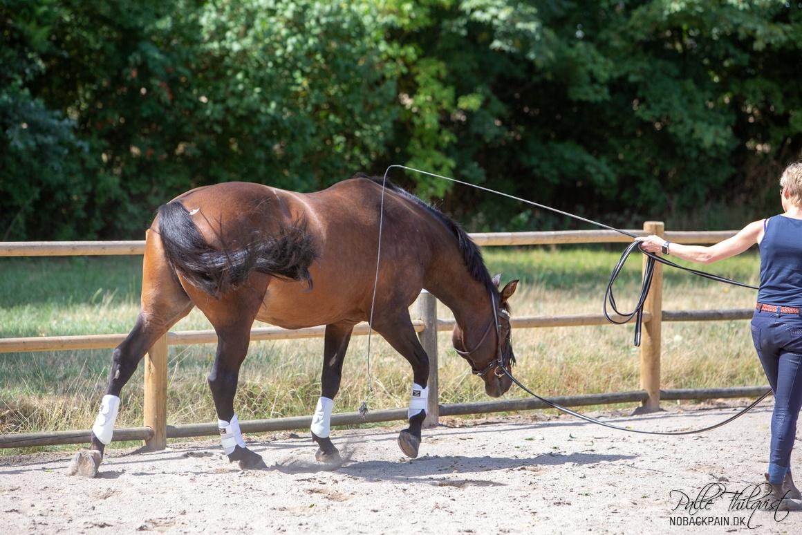 Jeg opvarmer altid mine heste i longe før jeg rider. Her ses Amaze, kan jeg ikke få hende til at løfte ryggen bag ved manken, når jeg longerer, så rider jeg hende ikke.