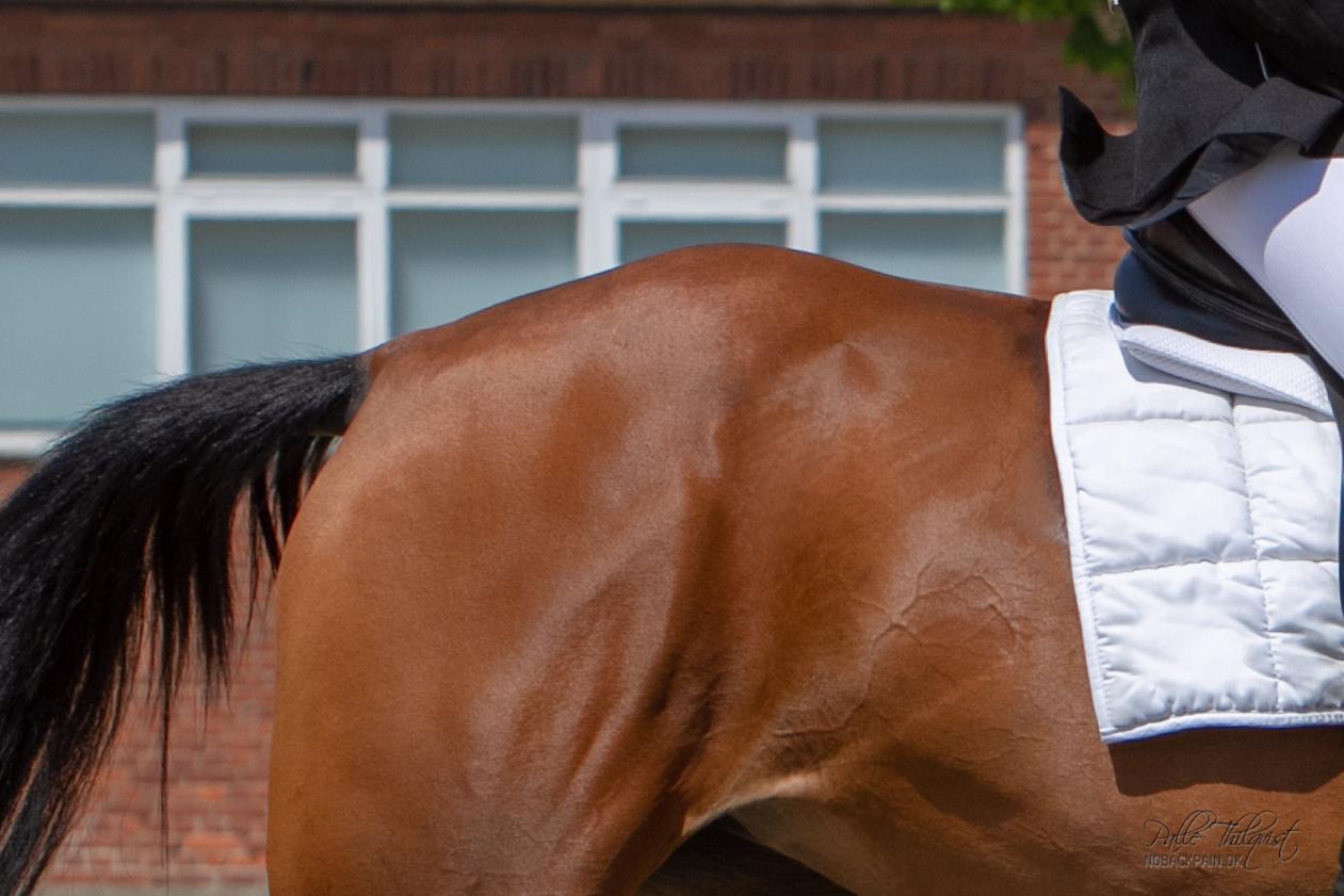 """""""Hunters Bump"""" er en forhøjning på bagparten, som opstår når hesten igennem længere tid er blevet redet med sænket ryg."""