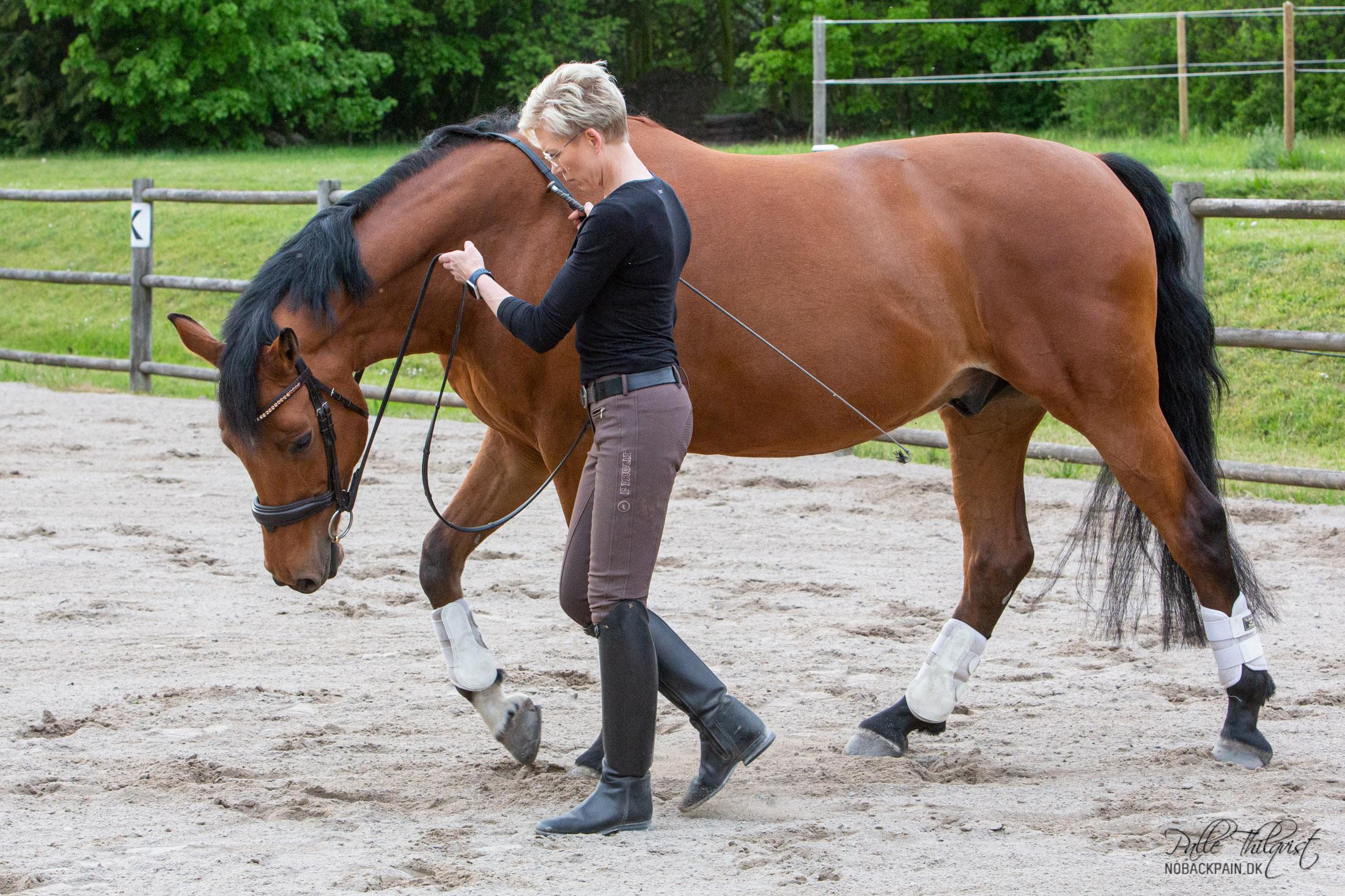 Jeg bruger oftest en lidt anden fremgangsmåde. De fleste heste er fra naturens hånd skæve. De ligger ofte mere vægt på den ene skulder fremfor den anden. Bliver dette ikke rettet risikerer vi at hesten bliver halt på det overbelastede forben. Man fornemmer det ofte ved at hesten skubber til en med skulderen. Så længe hesten gør det, har vi ikke den korrekte bøjning igennem hele kroppen. Dette skal rettes da al træning af hesten går ud på at få den til at bruge alle fire ben lige meget. Hvis vi ikke retter det, vil vi ud over diverse skader, aldrig kunne få en ligeudrettet hest. Og dermed vil vi heller aldrig kunne få en hest der arbejder i samling. Får man hesten til at strække sig dybt, så vil den ofte automatisk begynde at arbejde bedre og skubbe mindre med skulderen. Men i mange tilfælde skubber den altså stadig lidt. Derfor starter jeg oftest hestene med kontakt på begge tøjler. Indvendige tøjle virker i en opadgående retning, således at hesten mærker kontakten i mundvigen og ikke på tungen. Mundvigen er det mindst følsomme sted i hestens mund. Ved at påvirke hesten på denne måde, vil den ofte begynde at tygge på bidet. Dette virker afslappende for hesten og timer jeg det korrekt kan jeg nu lade tøjlerne glide stille og roligt igennem hænderne. Hesten vil følge denne kontakt ned og frem.