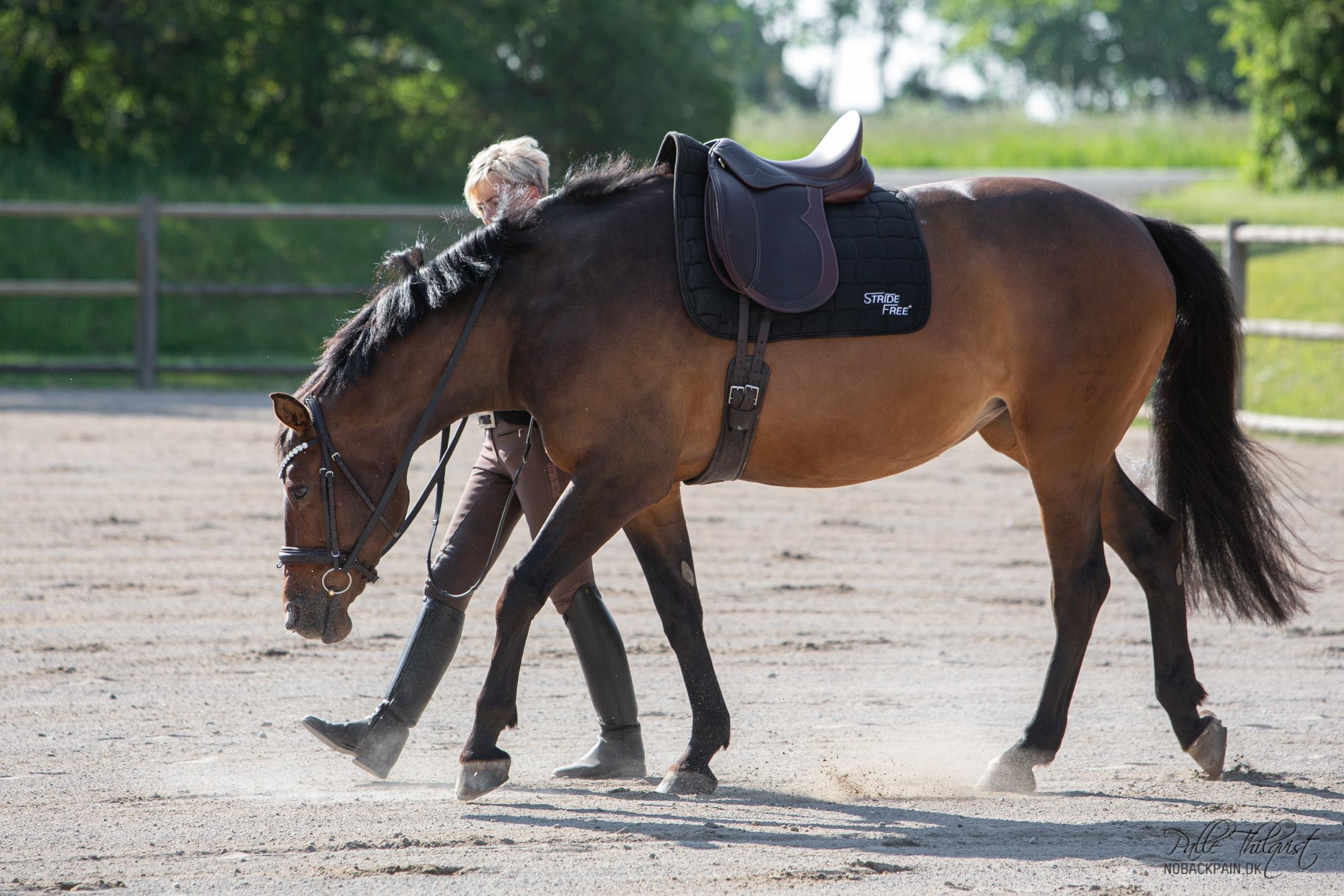 Vi skal tænke på at det vi gør fra jorden af gerne skulle kunne overføres til ridningen. Når vi begynder at ride hesten, så kan det være meget svært at kontrollere hestens skuldre osv, hvis den går rundt med mulen i jorden for en løs tøjle. Det kan være nødvendigt lige til at starte med at give den tøjlerne helt når den strækker sig, men meningen er at hesten på sigt skal følger kontakten på tøjlen. Mange heste har aldrig lært at søge den korrekte kontakt på biddet. Og det kan vi lære den via arbejdet for hånd. Her ud over lærer hesten at bruge sig selv mere korrekt og den får styrket og løsgjort sin overlinje.